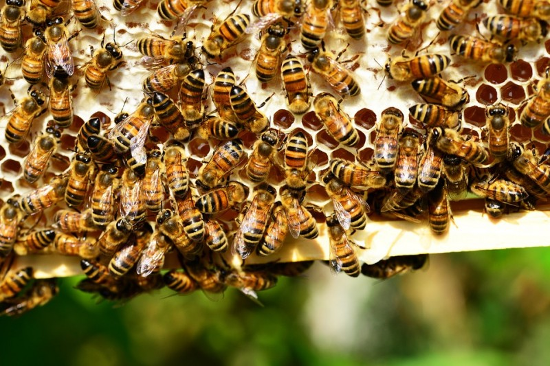 honey-bees-401238-960-720-130